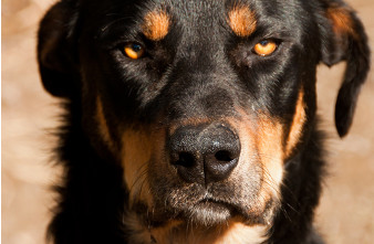 dog staring with angry look